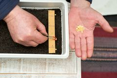 Farmer`s  hand holding tweezers precisely planting seeds for pepper seedlings. Selective focus Royalty Free Stock Images
