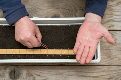 Farmer`s  hand holding tweezers precisely planting seeds for pepper seedlings. Selective focus Royalty Free Stock Image