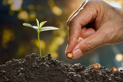 Farmer`s hand planting a seed royalty free stock image