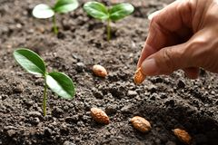 Farmer`s hand planting seed. In soil Royalty Free Stock Image