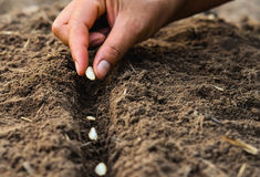 Farmer`s hand planting seed in soil Stock Image