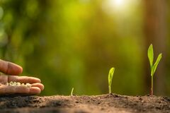 Free Farmer S Hand Planting Seeds Of Corn Tree In Soil. Agriculture, Growing Or Environment Concept Stock Photography - 172552812