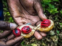 A farmer's hand presenting a fresh nutmeg fruit in zanzibar. Farmers hand presenting a fresh nutmeg fruit cut in half displaying the mace and nut in zanzibar Royalty Free Stock Photos