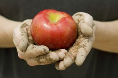 Farmer's Hands and apple. A farmers dirt caked hands holding out bright red apple royalty free stock photos