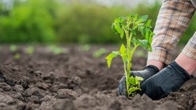 The farmer`s hands in gloves plant a tomato seedling in the soil