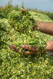 Farmer's hands holding freshly harvested silage corn maize. Stock Image