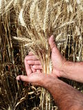 Farmer's hands Royalty Free Stock Images