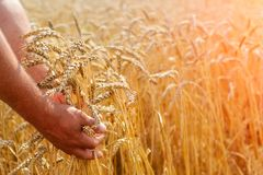 The farmer`s hands are holding wheat flakes on a wheat field. The concept of agriculture. royalty free stock photos