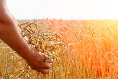 The farmer`s hands are holding wheat flakes on a wheat field. The concept of agriculture. royalty free stock photography