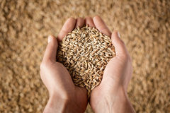 Farmer's hands holding wheat grains Royalty Free Stock Images