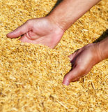 Farmer's hands keeping wheat harvest. Royalty Free Stock Photos