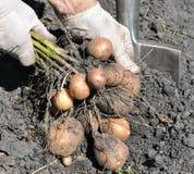Farmer`s hands picking fresh organic potatoes Royalty Free Stock Photos