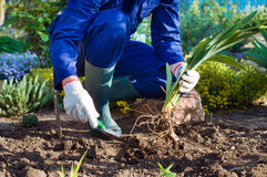 Farmer's hands planting an iris using shovel Stock Photography