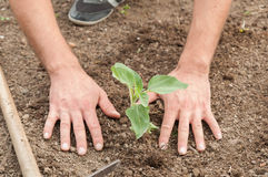 Farmer's hands planting a sunflower in the garden Stock Images