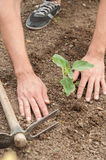 Farmer's hands planting a sunflower in the garden Royalty Free Stock Photo