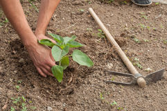 Farmer's hands planting a sunflower in the garden Royalty Free Stock Photography