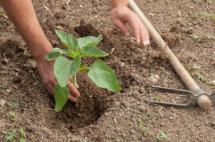 Farmer's hands planting a sunflower in the garden Stock Image