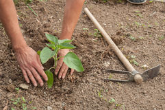 Farmer's hands planting a sunflower in the garden Royalty Free Stock Photos