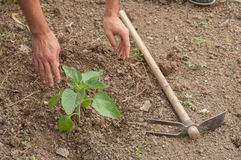 Farmer's hands planting a sunflower in the garden Royalty Free Stock Images