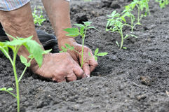 Farmer`s hands  planting a tomato seedling Stock Photos