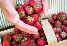Farmer's hands pouring organic strawberries into a basket Royalty Free Stock Photo