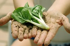 Farmer's Hands with vegetable. A farmers dirt caked hands holding out green vegetable leaves stock image