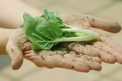 Farmer's Hands with vegetable. A farmers dirt caked hands holding out green vegetable leaves stock images