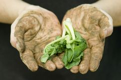 Farmer's Hands with vegetable. A farmers dirt caked hands holding out green vegetable leaves Royalty Free Stock Photo