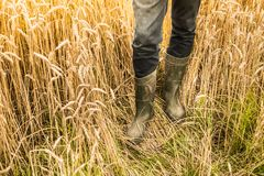 Farmer`s legs in rubber boots on wheat field - agriculture royalty free stock images