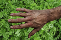 Farmer`s rough hand  on green grass fertile soil Royalty Free Stock Images