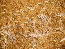 Farmer`s wheat crop Stock Images