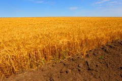 Farmer's wheat field.A plowed furrow. Stock Photos