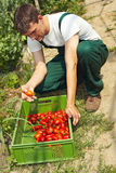 Farmer selecting tomatoes Stock Photo