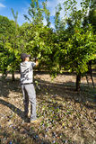 Farmer shaking down plums from trees at harvest Stock Photography