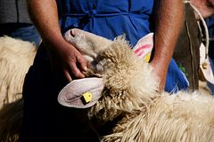 Farmer with a sheep Stock Photo
