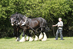 Farmer & Shire Horses Working Together. Pair of Shire Horses harnessed and ready for work Stock Photography