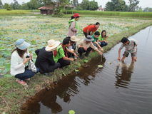 Farmer show how to plant lotus in prepared area Royalty Free Stock Images