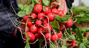 Farmer show ripe fresh  radishes in  a market. Picture of a farmer show ripe fresh  radishes in  a market Royalty Free Stock Images