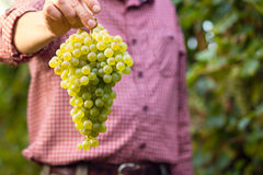 Farmer showing cluster of white grapes Stock Photos