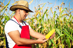 Farmer showing corn maize ear at field Royalty Free Stock Images