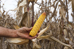 Farmer showing corn maize ear. After successful harvest Royalty Free Stock Photos