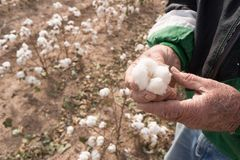 Man Holds Cotton Boll Farm Field Texas Agriculture Cash Crop. Farmer showing holding an open cotton boll in the the field Royalty Free Stock Image