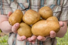 Farmer is showing and holds big potatoes in hands Royalty Free Stock Photo