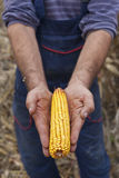 Farmer showing ripe corn maize ear. Before harvest Stock Photography