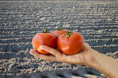 Farmer showing some tomatoes Stock Image