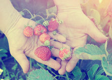 Farmer shows ripe organic strawberries, toned image Stock Photo