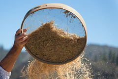 Farmer sifts grains during harvesting time to remove chaff. Old sieve for sifting flour and wheat,farmer sifts grains during harvesting time to remove chaff Stock Image