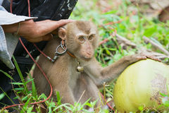 Farmer sits with monkey the coconut plantation at Koh Samui, Thailand. Royalty Free Stock Photography