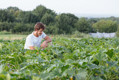 Farmer sitting on the zucchini field at organic farm. Portrait of gardener inspecting young squash Stock Images