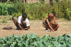 Farmer. Some farmer works at a Potato field. Dumuria, Khulna, Bangladesh stock photography